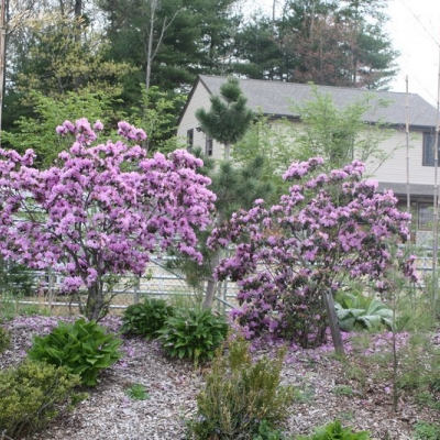 pjm-rhododendrons-2